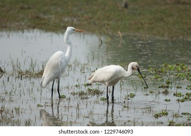 Great egret (Ardea alba) (left) and Eurasian spoonbill (Platalea leucorodia) (right). Keoladeo Ghana. Bharatpur. Rajasthan. India.