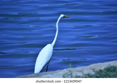 Great Egret, Ardea alba, with neck stretched, wading in a calm blue lake in Georgia