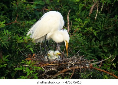 Great Egret (Ardea alba) in a nest with chicks