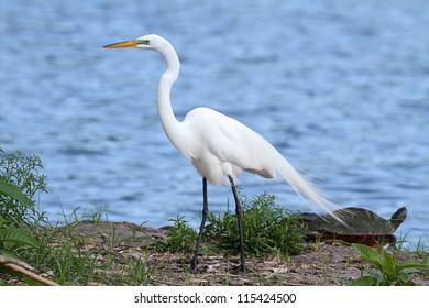 Great Egret (Ardea alba) nesting in the Florida Everglades with a turtle