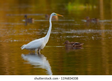 Great Egret (Ardea alba) on lake with some ducks floating around. Copy space.