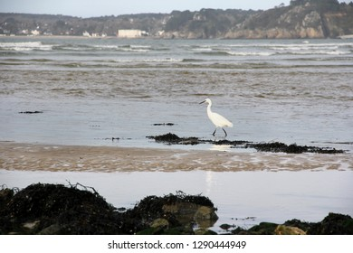 The great egret, Ardea alba on a natural wild beach in french Brittany.