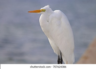 Great Egret On Prowl >> Great Egret On Ice Images Stock Photos Vectors Shutterstock