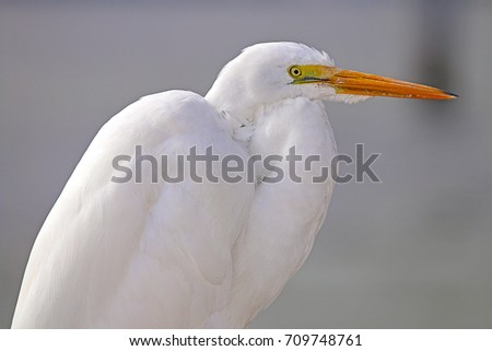Great Egret On Prowl >> Great Egret Ardea Alba On Prowl Stock Photo Edit Now 709748761