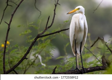 great egret or ardea alba perched on branch with natural green background at keoladeo national park or bird sanctuary bharatpur rajasthan india