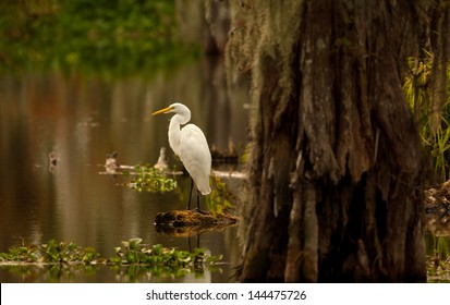 Great Egret (Ardea alba) posing on a stump in Lake Martin swamp, Breaux Bridge, Louisiana in the heart of Cajun Country.