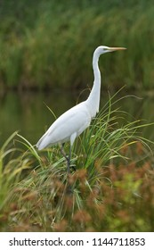 Great egret (Ardea alba), real wildlife - no ZOO