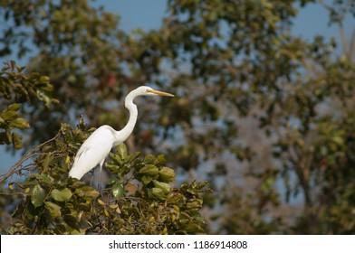 Great egret (Ardea alba). Sasan Gir. Gujarat. India.