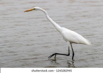 Great Egret (Ardea alba) seeking food