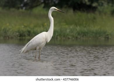 Great egret, Ardea alba,  single bird in water, Hungary, May 2016