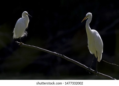 A great egret (Ardea alba) and a snowy egret (Egretta thula) perched and preening on a branch in a park in front of a dark background in California.