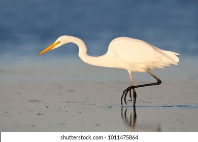 Great Egret (Ardea alba) stalking a fish - Fort DeSoto Park, Florida