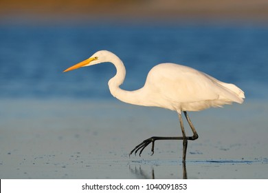 Great Egret (Ardea alba) stalking a fish in a shallow lagoon - Pinellas County, Florida