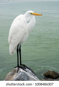 Great Egret (Ardea alba) standing on a rocky shore on the Gulf of Mexico at St. Pete Beach, Florida.