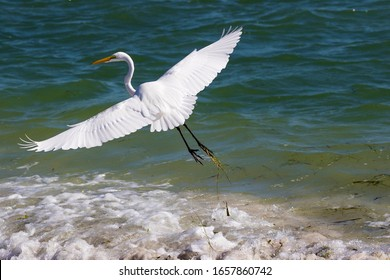 Great Egret (Ardea alba) taking off from shallow surf on Boca Ciega Bay at St. Pete Beach, Florida.
