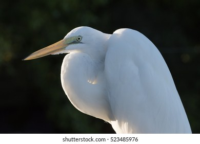 Great Egret (Ardea alba), Tavernier, Key Largo, Florida