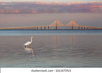 Great Egret (Ardea alba) at twilight with the Sunshine Skyway Bridge in the background - Fort DeSoto Park, Florida
