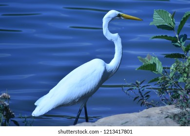 Great Egret, Ardea alba, wading in a blue lake near the bank.