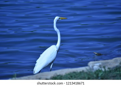 Great Egret, Ardea alba, wading in the lake with a turtle sticking its head up out of the water
