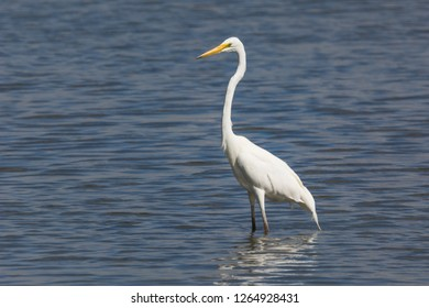 Great Egret, Ardea alba, wading the shallows in search of small fish. Also called White Egret or White Crane, one of Australia's native Egrets.
