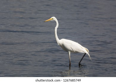 Great Egret, Ardea alba, wading the shallows in search of small fish. Also called White Egret or White Crane,Australia's biggest native Egret.