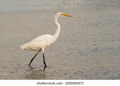 Great Egret (Ardea alba) walking through shallow water at Ft. Desoto Park near St. Pete Beach, Florida searching for food.