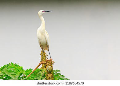 Great egret (Ardea alba) / great white egret/ white heron/ great white heron/ large egret/ common egret with dark pink coloring near beak during breeding season perched on a tree.