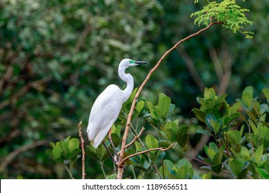 Great egret (Ardea alba) / great white egret/ white heron/ great white heron/ large egret/ common egret with green coloring near beak during breeding season perched on a tree.