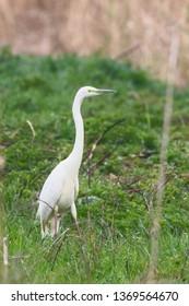 Great Egret (Ardea alba) Great White Egret, Common Egret