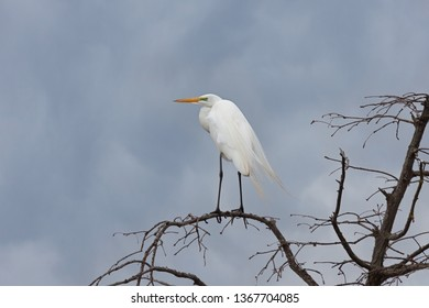 A great egret balances itself on top of a barren tree during an approaching storm.  Its neon green skin and long flowing back plumes are a telltale sight that it is breeding season.