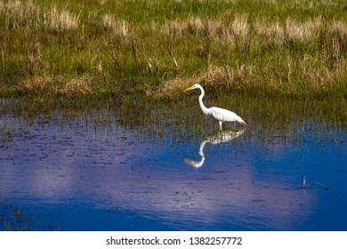 Great Egret with beautiful reflections has caught a tiny fish in the marsh at Bosque del Apache National Wildlife Refuge in New Mexico