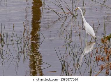 Great egret, bird, Ardea alba, common egret wading in water with full mirror reflection Lake Nakuru National Park Kenya East Africa