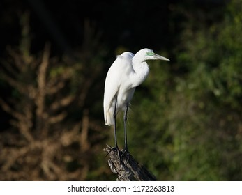 Great Egret in Breeding Plumage, Chobe River, Botswana
