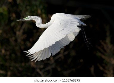 Great Egret (Breeding Plumage) in Flight, Chobe River, Botswana