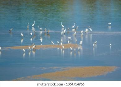 Great Egret; Casmerodius albus on the beach.