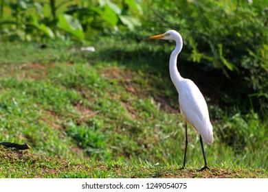 Great Egret, Common Egret, Large Egret, Great White Heron at Sri Lanka