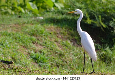 Great Egret, Common Egret,  Great White Heron at Sri Lanka.  The great egret (Ardea alba), also known as the common egret fishing in the shallow lagoon.