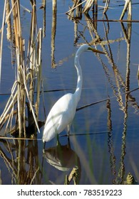 Great Egret Ding Darling Wildlife Refuge Sanibel Florida