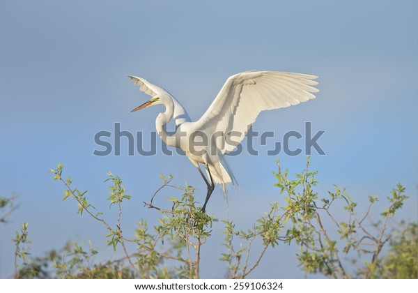 great-egret-early-morning-tender-600w-25