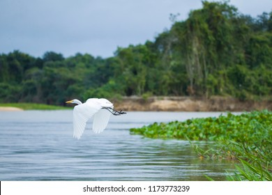 Great egret, Egretta alba, flying over river in the Pantanal, Brazil