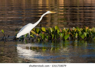 Great egret, Egretta alba, standing in river in the Pantanal, Brazil