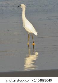 Great Egret feeding on the beach