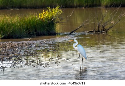 Great Egret fishing in a marsh near the Chesapeake bay in Maryland