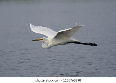 Great Egret in Flight, Chobe River, Botswana
