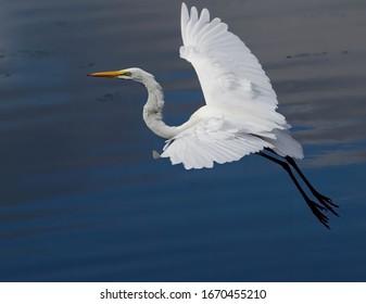 Great egret in flight with wings spread. Ardea alba.
