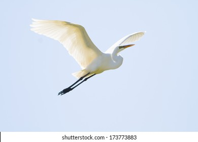 Egret Flying Photos 17273 Egret Stock Image Results