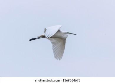 Great Egret Flying (Ardea alba) Great White Egret