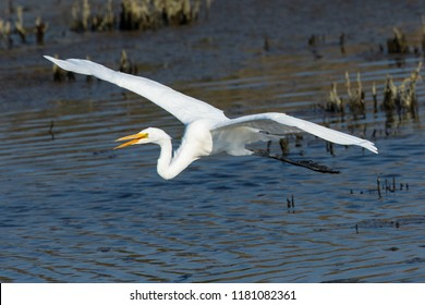Great egret flying in beautiful light in a North California marsh