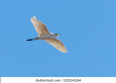 Great Egret Flying with fish in beak, (Ardea alba) Great Egret Flying with catch