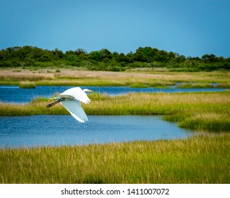 Great Egret flying over Assateague Marsh on the outer shores of Maryland, USA